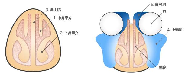 鼻・副鼻腔の構造